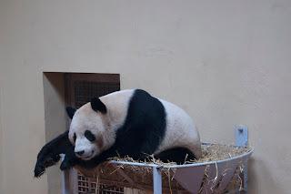 Giant panda images
