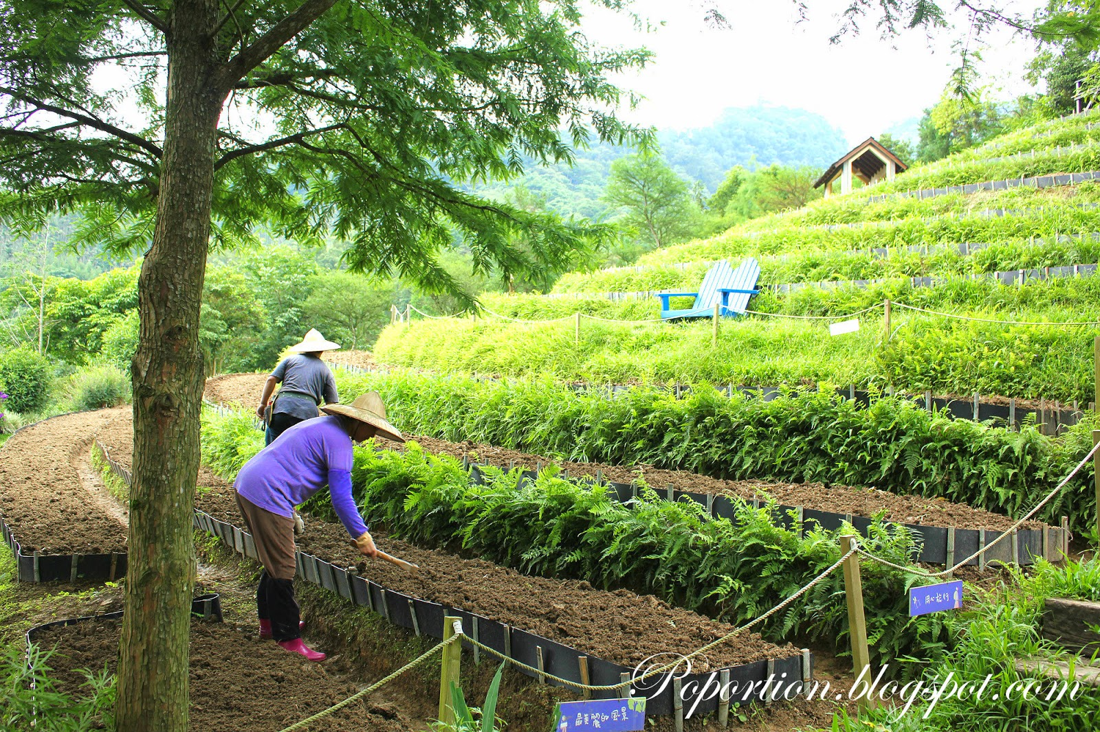 lavender farming on terraces