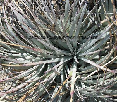Hechtia podantha habitat