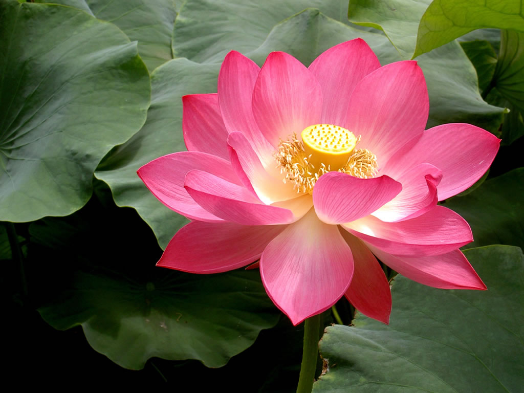 Questions And No Answers The Lotus Flower And Its Divine Beauty