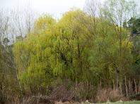 Les branques penjants dels desmais recorden com penjaven sobre el buit els jardins de Babilònia