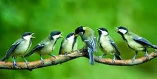Foto Burung Gelatik Terbaik