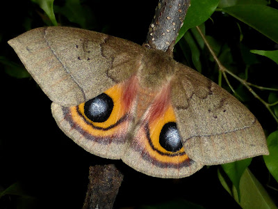 Automeris hesselorum male