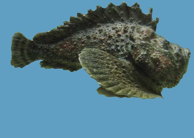 Artes de pesca vamos a pescar pez piedra - Fotos de peces del mediterraneo ...