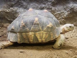 Ploughshare Tortoise (Angonoka)
