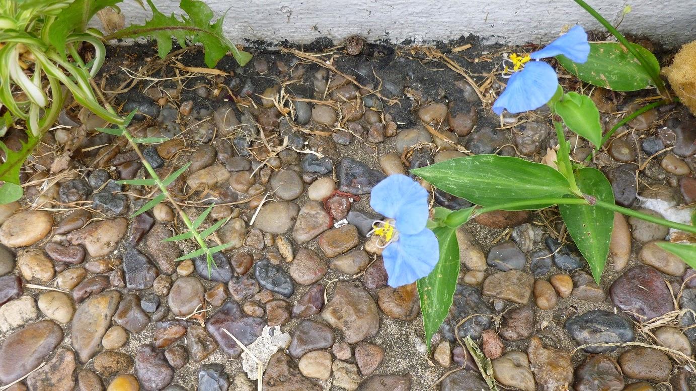 цветок традесканции
