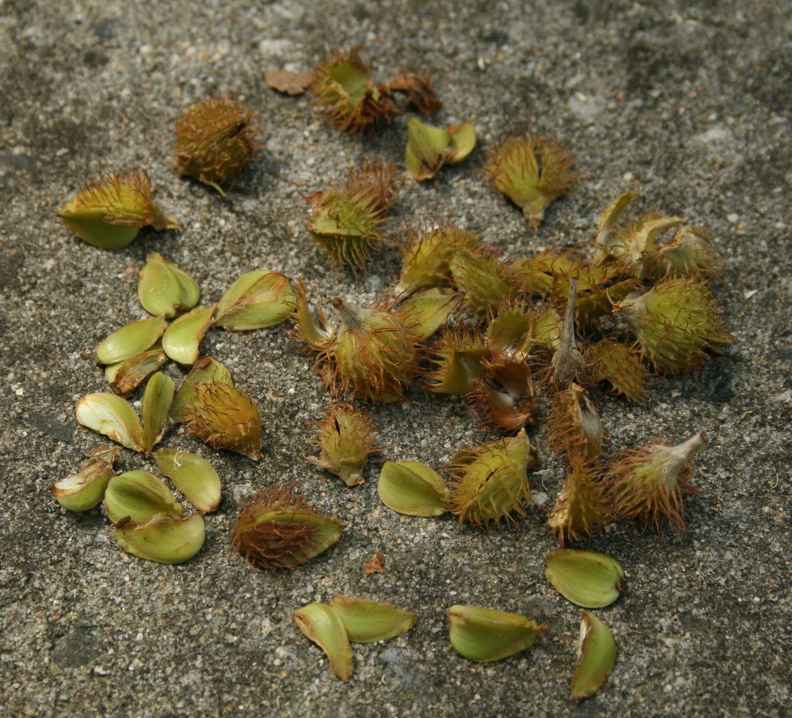 How to Identify Hickory Trees: 13 Steps (with Pictures) Pictures of beech nuts