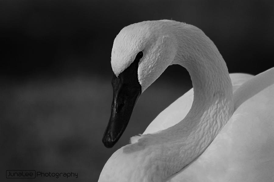 Schwan schwarz-weiß
