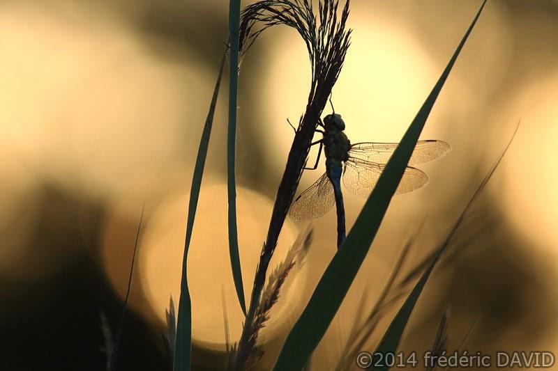 libellule macro insecte silhouette marais Episy Seine-et-Marne