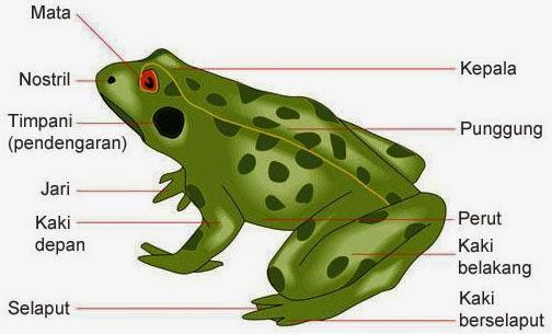 struktur tubuh katak