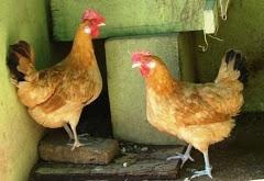 La paràbola del pollastre...