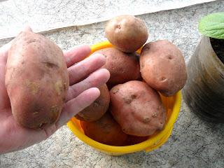 Картофель в начале мая