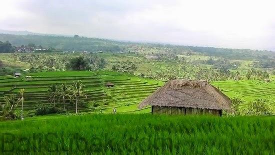 Terraced rice fields in Jatiluwih, Bali
