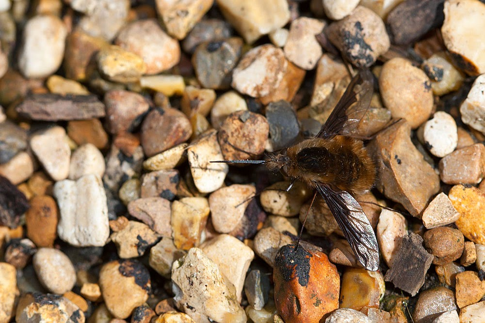 Large Bee fly [Bombylius major] - Loughton Valley Park, Milton Keynes