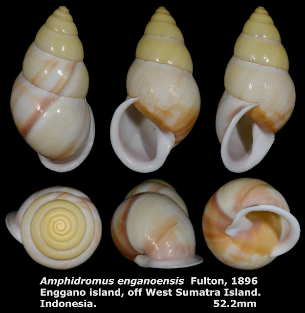 Amphidromus enganoensis 52.2mm