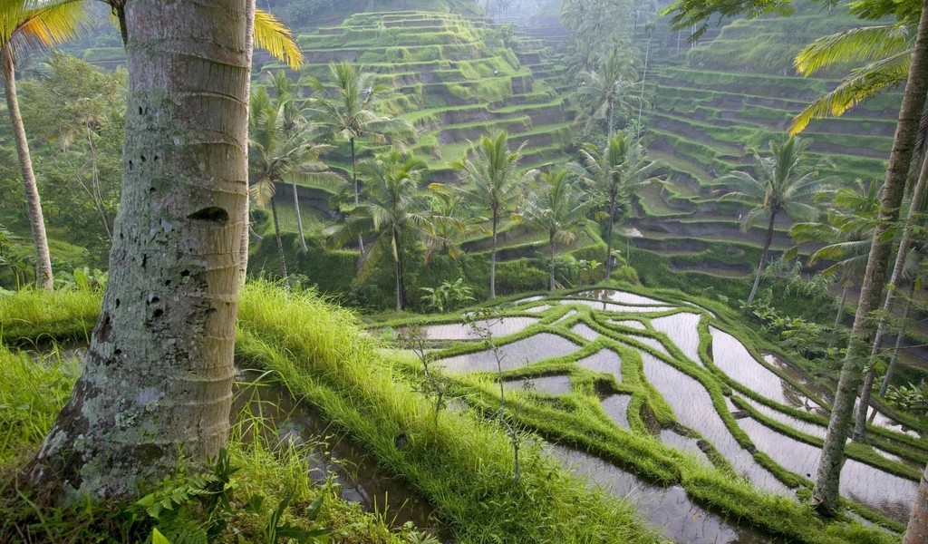 free windows background wallpaper. Free New Rice Field Wallpaper