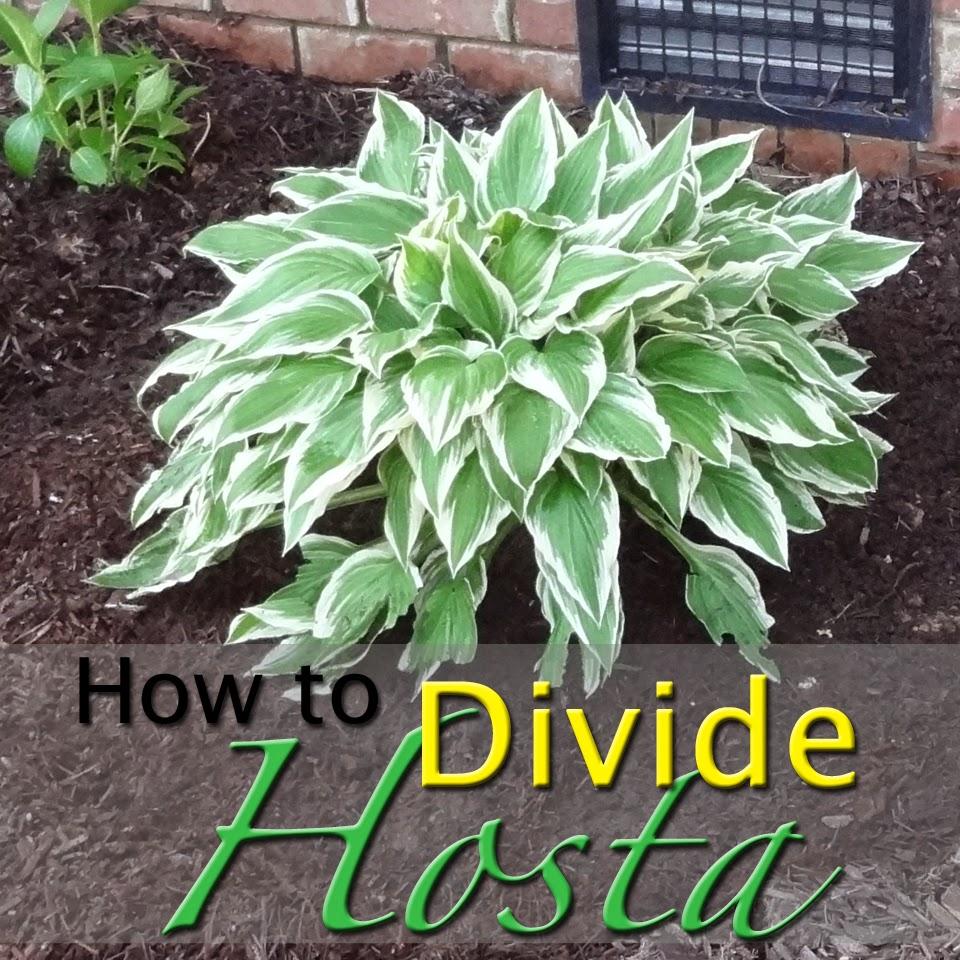 How To Divide Hosta