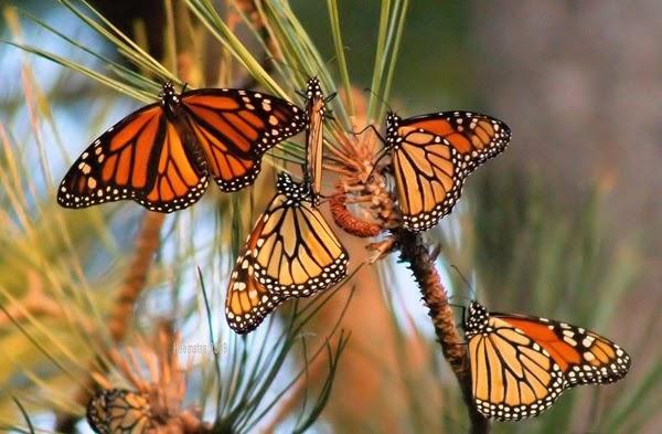 hijrah rama-rama monarch