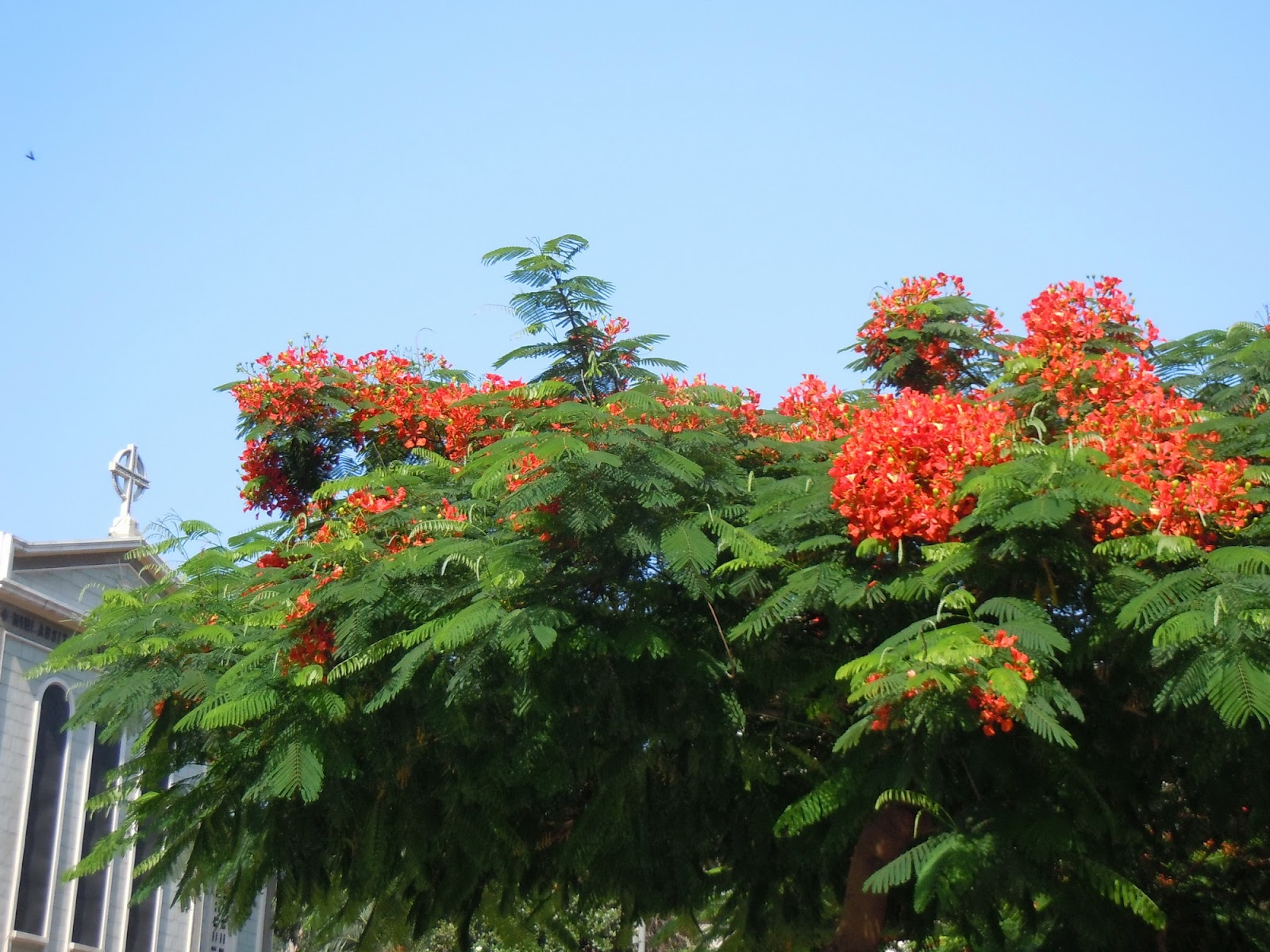Sans gluten beyrouth du flamboyant beyrouth hamra rouge - Arbres a fleurs rouges ...