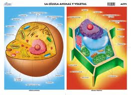 Best Imagen De Celula Animal Y Vegetal En Blanco Y Negro Image