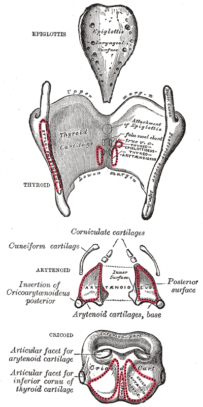 New Voice, New Career: Anatomy and Physiology Series: Laryngeal ...