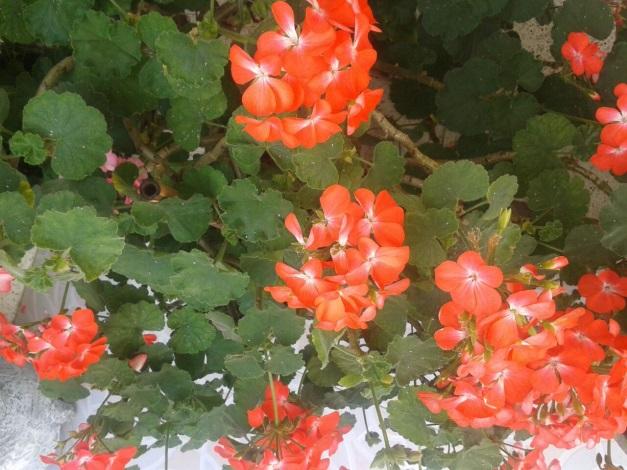 Flora abejorral flora ornamental for Una planta ornamental