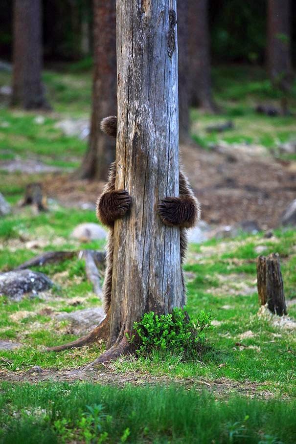 oso jugando escondite