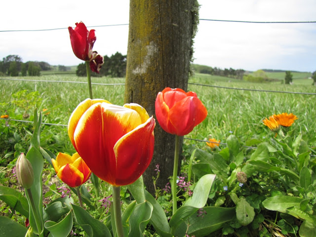 orange-yellow-tulips