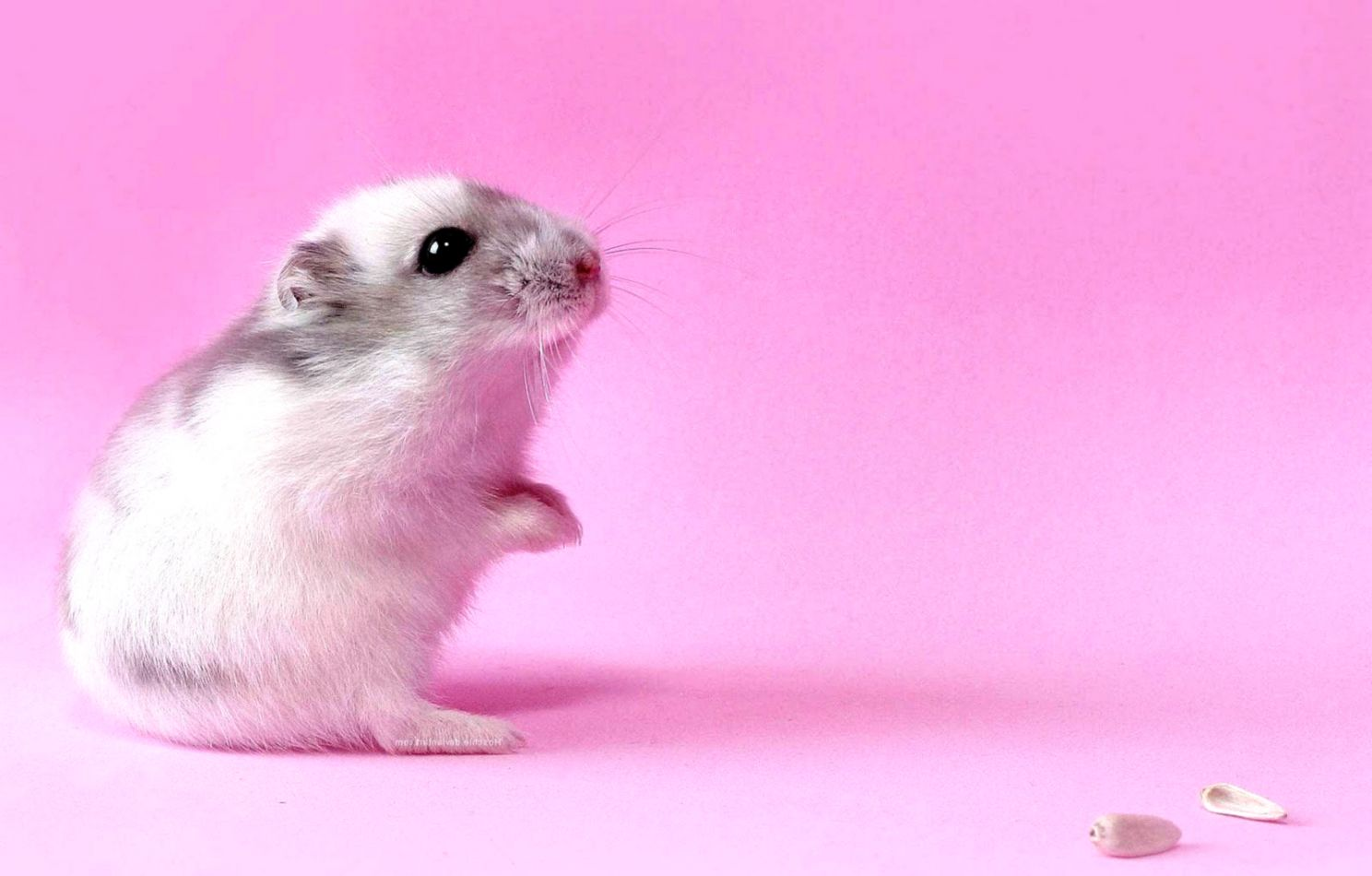 Best   Wallpaper Horse Pink - 47-best-inspirational-high-quality-hamster-backgrounds  Best Photo Reference_69882.jpg