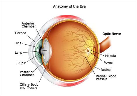 Fisiologi Mata Manusia, Fisiologi Pada Mata Kita