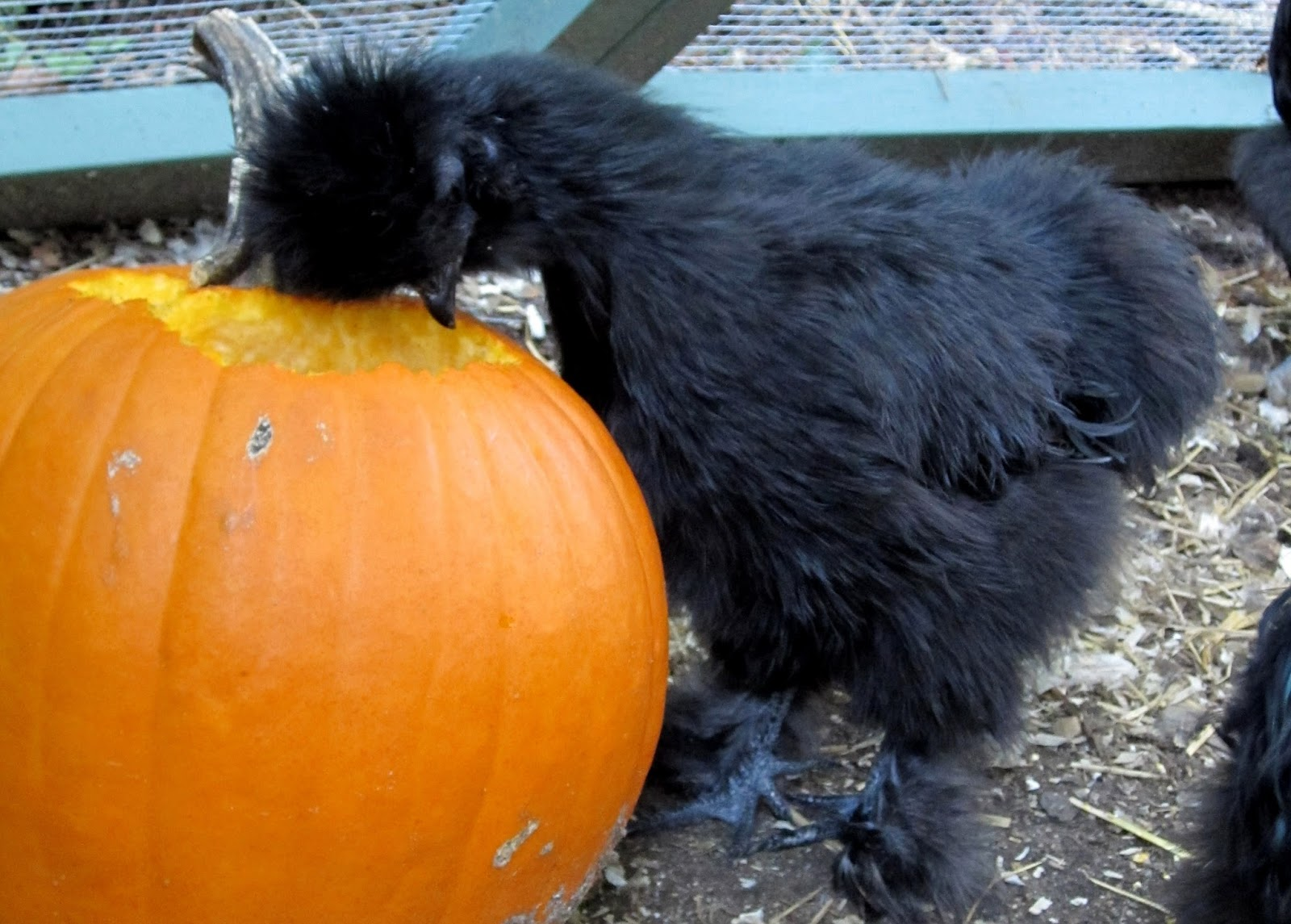 pumpkins with benefits boost your flock u0027s health community chickens