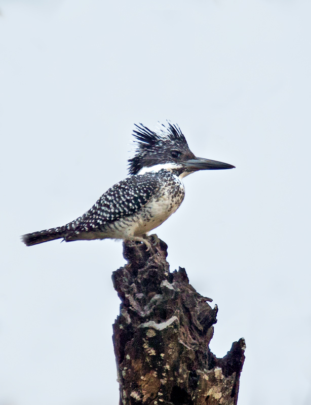 Crested kingfisher
