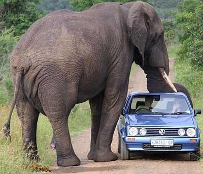 Dangerous Elephant