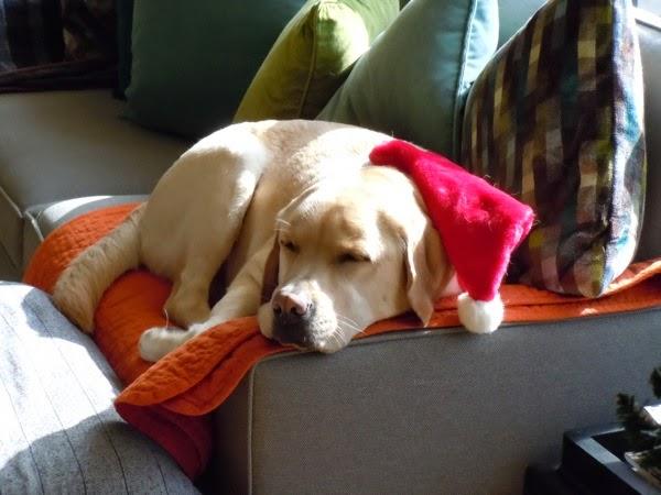 Festive Yellow Labrador Cooper