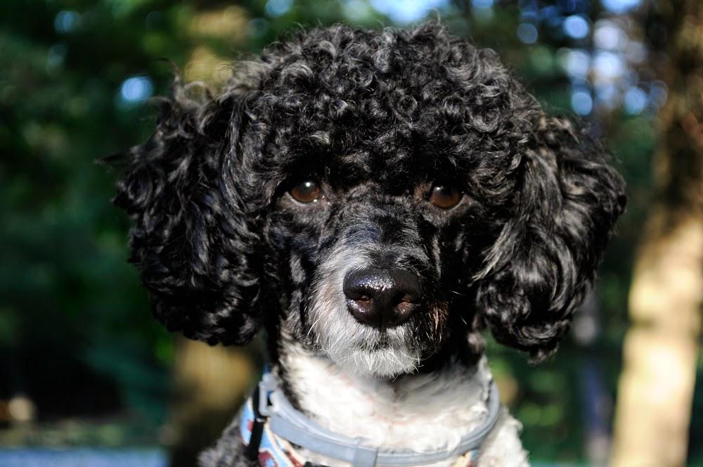 miniature poodle front face