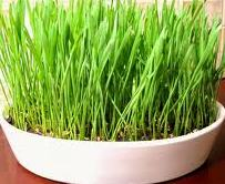 Grow Wheat Grass at Home
