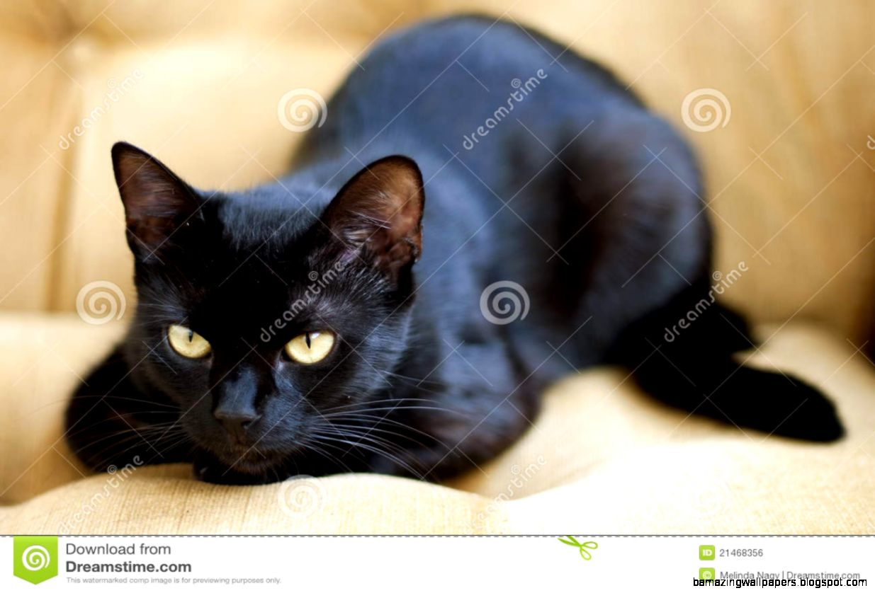 Cute Black Cat With Yellow Eyes Royalty Free Stock Image   Image