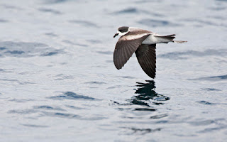 Buy this image of Ringed Storm-Petrel at www.agami.nl
