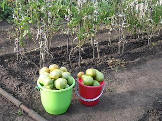 6 сентября, собираю последние помидоры