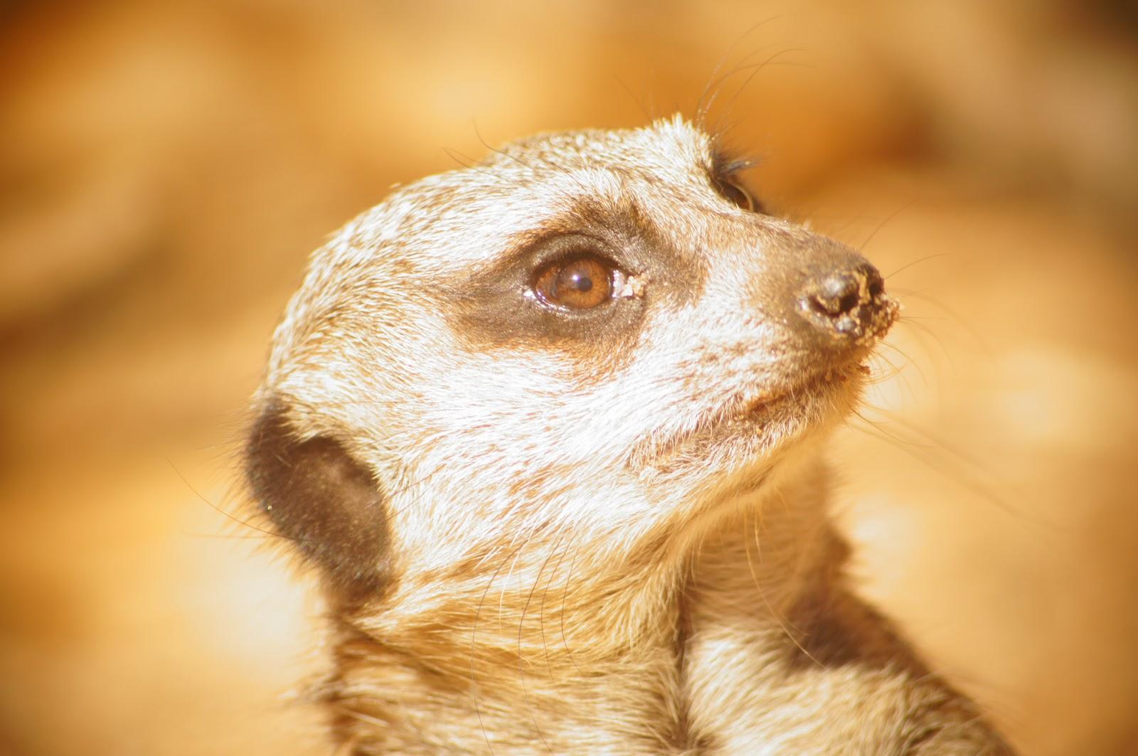 free image for online download meerkat