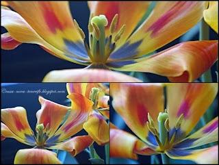 Tulpen von Nova