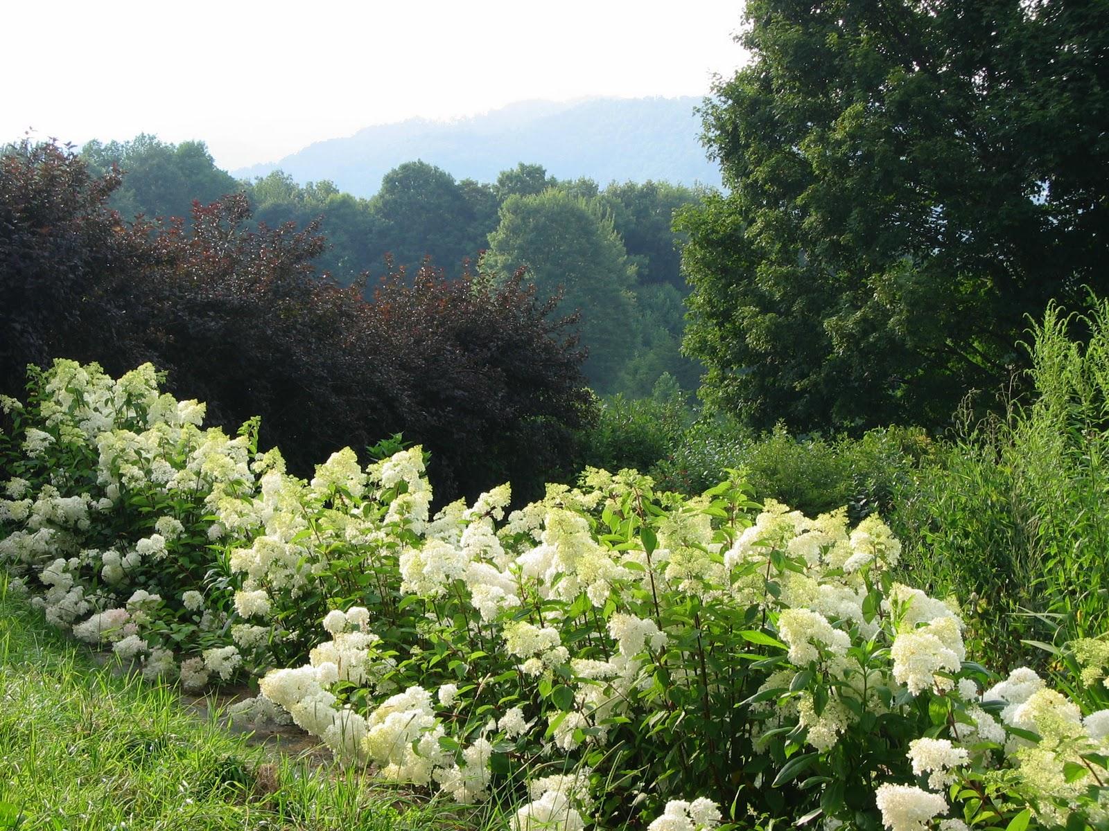 Physostegia Virginiana Crystal Peak White