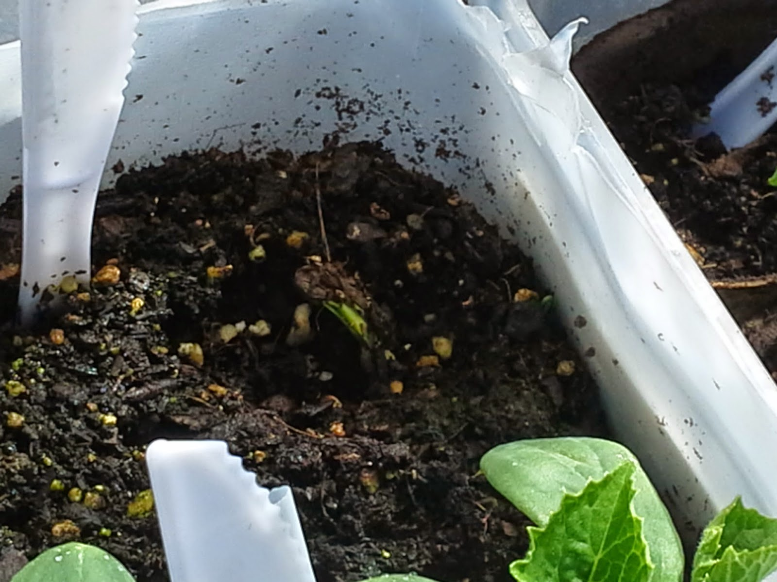Golden Midget Watermelon seed germinating