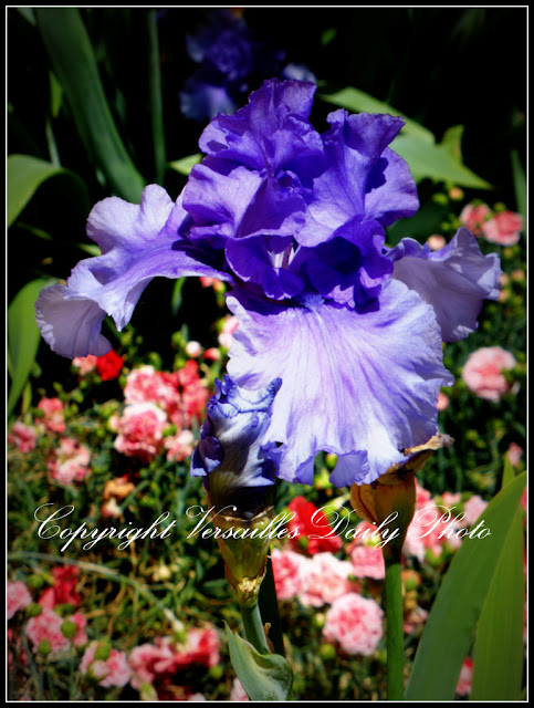 Iris Cour des Senteurs Versailles