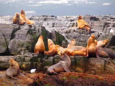 Colonia de leones marinos en el Canal de Beagle