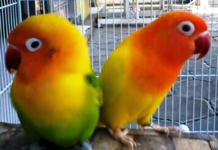 Burung Lovebird (Labet)