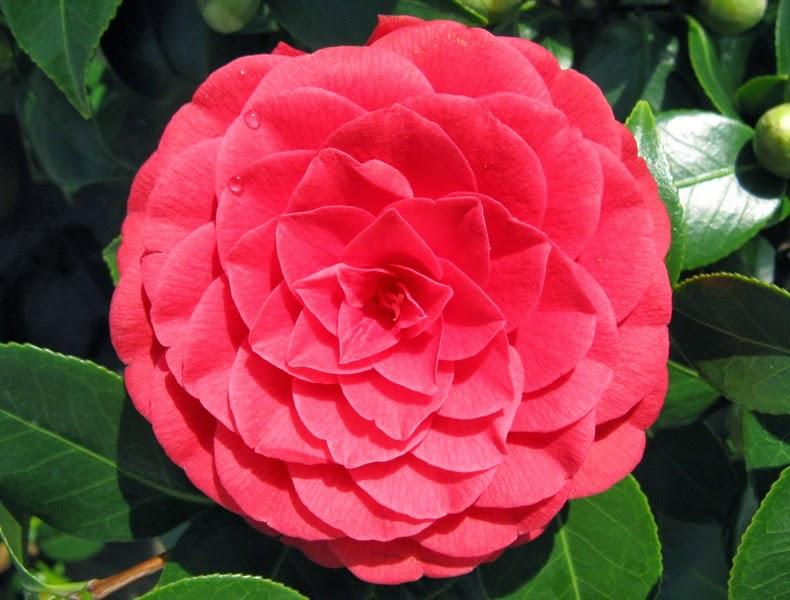 camellia japonica 39 black lace 39 the garden of eaden. Black Bedroom Furniture Sets. Home Design Ideas