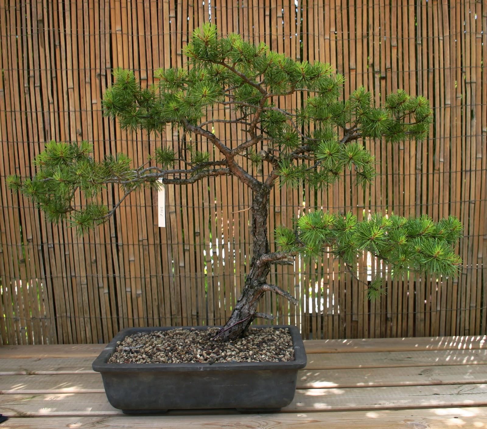 profession bonsa pins sylvestres bruts ou travaill s. Black Bedroom Furniture Sets. Home Design Ideas