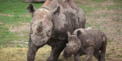 El rinoceronte negro, sólo uno más de una extensa lista de animales extintos 0001099624