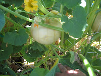 how to grow butternut squash vertically